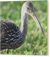 Limpkin Checking For Snails. Wood Print