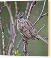 Lincoln's Sparrow Wood Print
