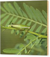 Linear Winged Grasshopper Wood Print