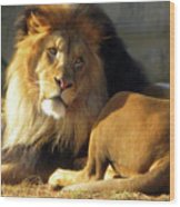 Lion 2 Washington D.c. National Zoo Wood Print