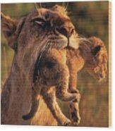 Lion 32 Wood Print