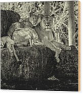 Lion And Her Cubs Wood Print