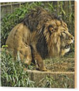 Lion Calling Females Wood Print