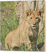 Lion Cub 2 Wood Print