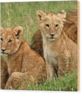 Lion Cubs - Too Cute Wood Print by Nancy D Hall