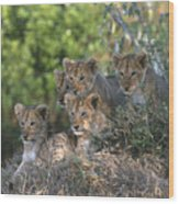 Lion Cubs Awaiting Mom Wood Print