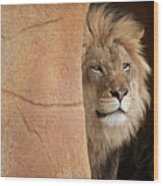 Lion Emerging    Captive Wood Print