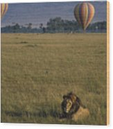 Lion Ignores Balloons Wood Print