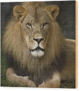 Lion In Repose Wood Print by Warren Sarle