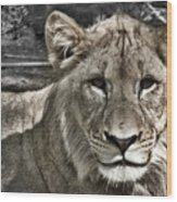 Lion Portrait Wood Print