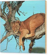 Lioness In Africa Wood Print