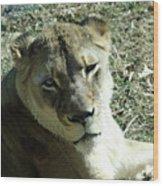 Lioness Peering Wood Print