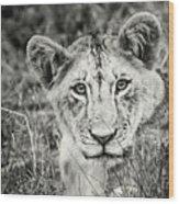 Lioness Portrait Wood Print