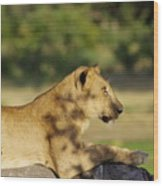 Lioness Pose Wood Print