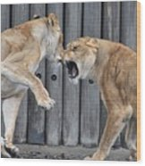Lioness's Playing 1 Wood Print