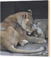 Lioness's Playing 2 Wood Print
