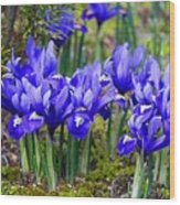 Little Baby Blue Irises Wood Print