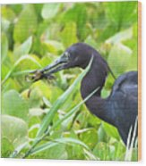 Little Blue Heron Catches A Frog Wood Print