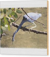 Little Blue Heron Going For Fish With Framing Wood Print