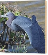Little Blue Heron Sunbathing Wood Print