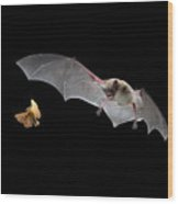 Little Brown Bat Hunting Moth Wood Print