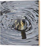 Little Duckling Goes For A Swim Wood Print