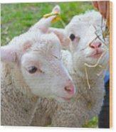 Little Lambs Eat Straw Not Ivy Wood Print
