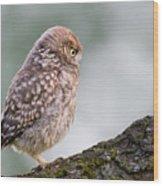 Little Owl Chick Practising Hunting Skills Wood Print
