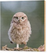 Little Owl Chick Wood Print
