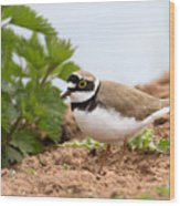 Little Ringed Plover Wood Print