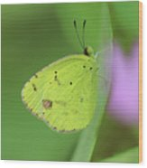 Little Yellow Butterfly Close-up Wood Print