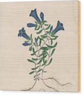 Liverpool Gentian With One Insect Wood Print