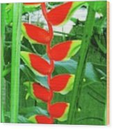 Lobster Claw Heliconia Wood Print