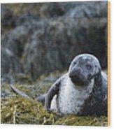 Loch Dunvegan's Harbor Seal Wood Print