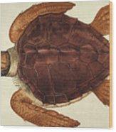Loggerhead Turtle, 1585 Wood Print