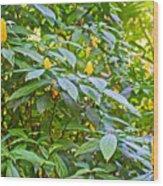 Lollipop Bush In Bourbon Resort Gardens Near Iguazu Falls National Park-brazil  Wood Print