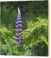 Lone Blue Lupine Wood Print
