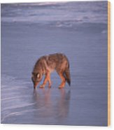 Lone Coyote On The Shore Of Lake Superior Wood Print