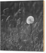 Lone Dandelion Black And White Wood Print