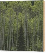 Lone Evergreen Amongst Aspen Trees Wood Print