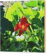 Lone Nasturtium   Wood Print