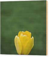 Lone Yellow Tulip Wood Print