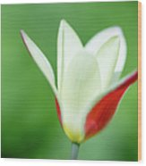 Lonely Lady Tulip Wood Print