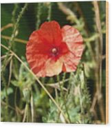 Lonesome Red Poppy Flower Wood Print