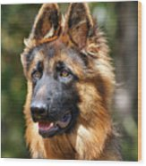 Long Coated German Shepherd Dog Wood Print