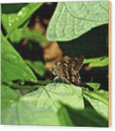 Long Tail Skipper Butterfly 1 Wood Print