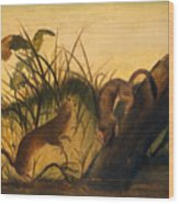 Long - Tailed Weasel Wood Print