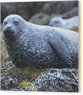 Long Whiskers On A Harbor Seal Wood Print