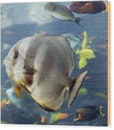 Longfin Batfish Wood Print