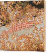 Longnose Hawkfish Wood Print